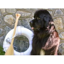 Newfoundland Dog Greeting Card