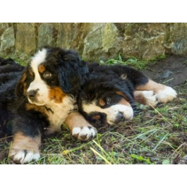 Bernese Mountain Dog Puppies Greeting Cards