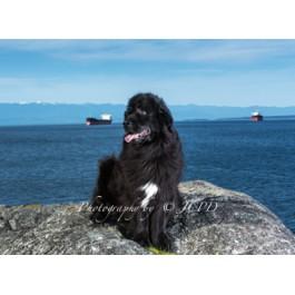 Newfoundland Dog Greeting Cards