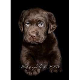 Chocolate Labrador Retriever  Puppy Greeting Card