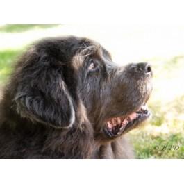 Grey Newfoundland Dog Greeting Cards