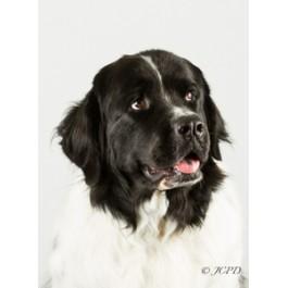 Landseer, Newfoundland Dog Greeting Cards