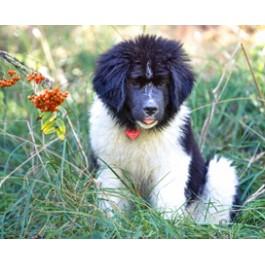 Landseer Newfoundland Dog Puppy Greeting Cards