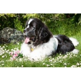Landseer Newfoundland Dog Greeting Cards